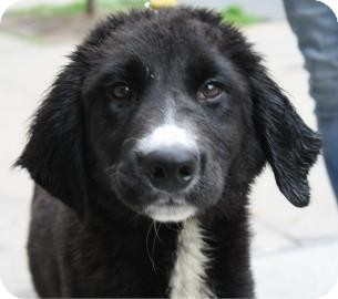 Collie Mix Puppy for adoption in Brooklyn, New York - Jet