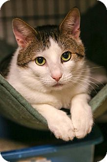 Domestic Shorthair Cat for adoption in Lafayette, Indiana - Logan