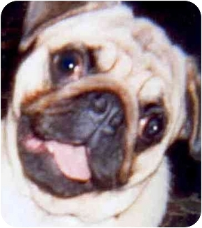 Pug Dog for adoption in Mays Landing, New Jersey - Poppie