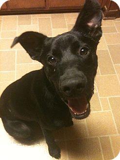 Shepherd (Unknown Type)/Labrador Retriever Mix Dog for adoption in Baton Rouge, Louisiana - Jake