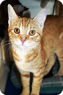 Domestic Shorthair Cat for adoption in Kalamazoo, Michigan - Torry