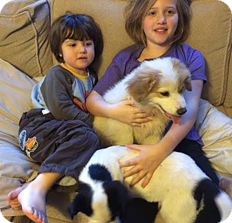 Great Pyrenees Mix Puppy for adoption in Brattleboro, Vermont - Ginger