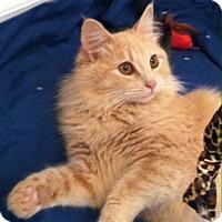 Adopt A Pet :: Cinnamon - North Highlands, CA
