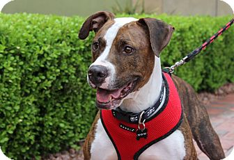 Boxer/American Pit Bull Terrier Mix Dog for adoption in Las Vegas, Nevada - PETEY KISS