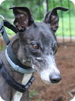 Greyhound Mix Dog for adoption in Nashville, Tennessee - Nova
