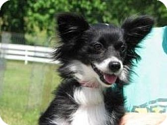 Pomeranian/Chihuahua Mix Dog for adoption in Westwood, New Jersey - Skittles