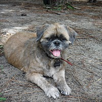 Shih Tzu Mix Dog for adoption in Malabar, Florida - Penny
