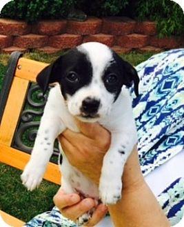 Chihuahua/Dachshund Mix Puppy for adoption in Beavercreek, Ohio - Bandit