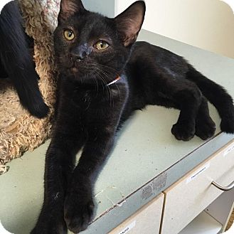 Domestic Shorthair Kitten for adoption in Westminster, California - Shire