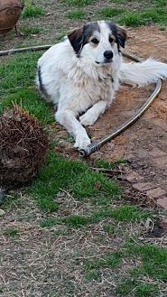 Great Pyrenees/Australian Shepherd Mix Dog for adoption in Whitewright, Texas - Buddy Boy