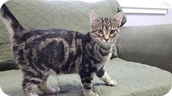 Domestic Shorthair Kitten for adoption in Hawk Point, Missouri - Jersey