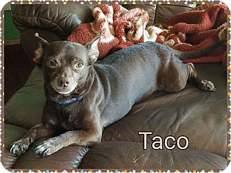 Chihuahua/Dachshund Mix Dog for adoption in Pinellas Park, Florida - Taco