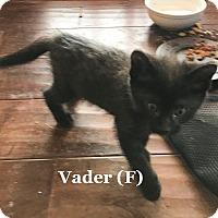 Adopt A Pet :: Vader - Bentonville, AR