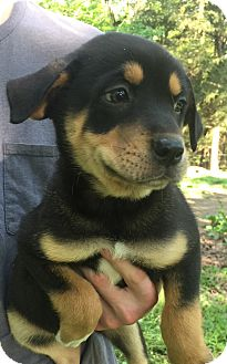 Rottweiler/Shepherd (Unknown Type) Mix Puppy for adoption in SOUTHINGTON, Connecticut - Maddie