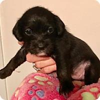 Adopt A Pet :: Novin - North Brunswick, NJ
