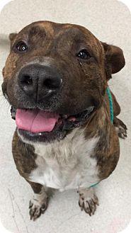 Mastiff Mix Dog for adoption in Spokane, Washington - Sarge