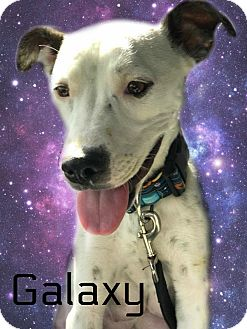 American Pit Bull Terrier Mix Dog for adoption in Des Moines, Iowa - Galaxy