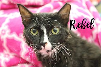 Domestic Mediumhair Kitten for adoption in Wichita Falls, Texas - Rebel