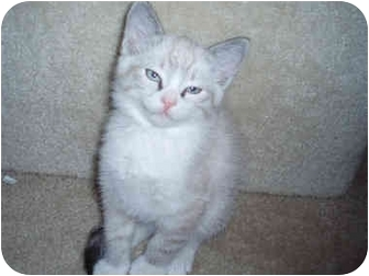 Ragdoll Kitten for adoption in Davis, California - Clifton