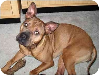Boxer Mix Dog for adoption in Plainfield, Illinois - Missy