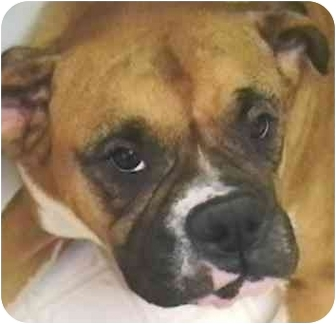 Boxer Dog for adoption in North Haven, Connecticut - Duke