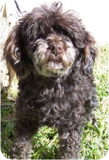 Poodle (Miniature) Mix Dog for adoption in Sugarland, Texas - Snoop