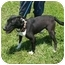 Photo 3 - Bull Terrier Mix Dog for adoption in Lexington, Missouri - Rowdy