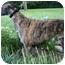 Photo 1 - Greyhound Dog for adoption in Hendersonville, Tennessee - Deerfield Park