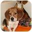 Photo 3 - Beagle/Basset Hound Mix Dog for adoption in Factoryville, Pennsylvania - Mickey