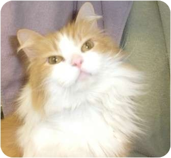 Domestic Longhair Cat for adoption in Orland Park, Illinois - Jester