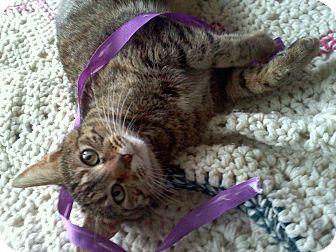 Domestic Shorthair Cat for adoption in Chicago, Illinois - Bar Refaeli