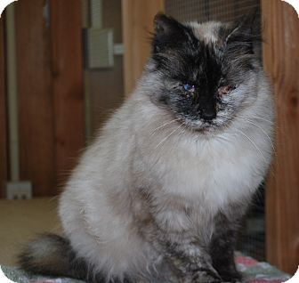 Siamese Cat for adoption in Port Lavaca, Texas - Natasha