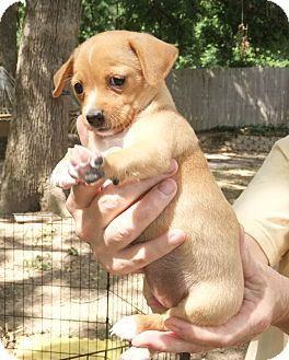 Terrier (Unknown Type, Small) Mix Puppy for adoption in Plano, Texas - Sunshine