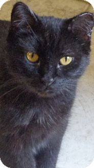Domestic Shorthair Cat for adoption in Charles City, Iowa - Mindy