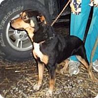 Adopt A Pet :: Angel - latrobe, PA