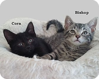 American Shorthair Kitten for adoption in Rochester, New York - Bishop and Cora