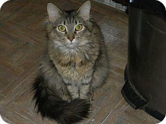 Domestic Mediumhair Cat for adoption in Hamden, Connecticut - Nikki