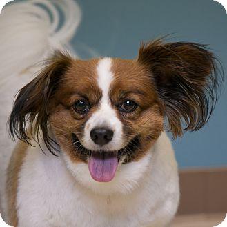 Papillon Mix Dog for adoption in Staunton, Virginia - Monte