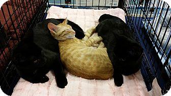 Domestic Shorthair Kitten for adoption in Marietta, Georgia - Curry