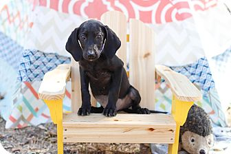 Labrador Retriever Puppy for adoption in Auburn, California - Gizelle