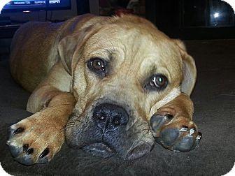 Mastiff/Labrador Retriever Mix Dog for adoption in Overland Park, Kansas - Olivia