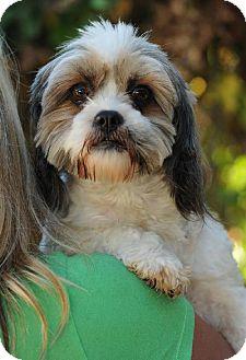 Shih Tzu/Lhasa Apso Mix Dog for adoption in Long Beach, California - Tootsie
