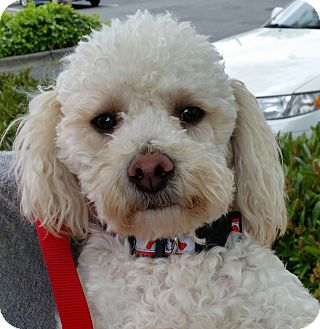 """Miniature Poodle/Poodle (Toy or Tea Cup) Mix Dog for adoption in Seattle, Washington - """"Marley"""""""