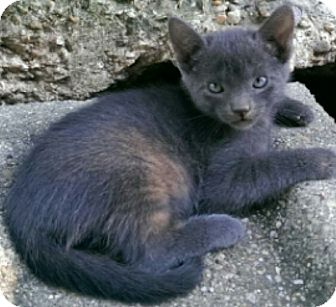 Chartreux Kitten for adoption in METAIRIE, Louisiana - Calantha