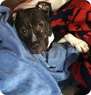 American Pit Bull Terrier Mix Dog for adoption in Brooklyn, New York - Maverick