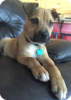 Boxer/Labrador Retriever Mix Puppy for adoption in Eden Prairie, Minnesota - Olaf
