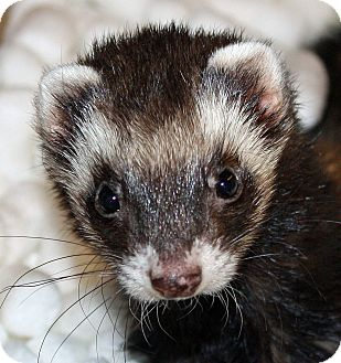 Ferret for adoption in Indianapolis, Indiana - Farrah