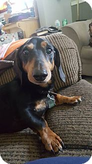 Dachshund Dog for adoption in Coatesville, Pennsylvania - Gunner