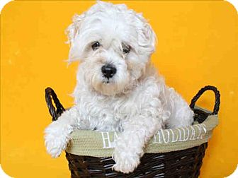 Maltese/Poodle (Miniature) Mix Dog for adoption in Encino, California - Scholar