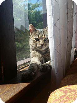 Domestic Shorthair Cat for adoption in THORNHILL, Ontario - Gidget